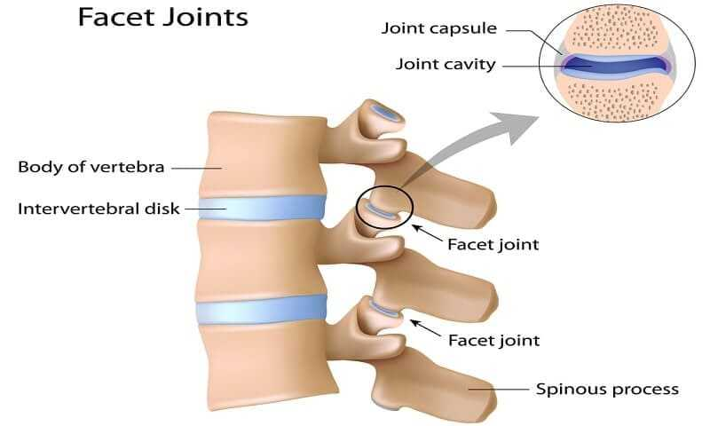 Facet joints labeled